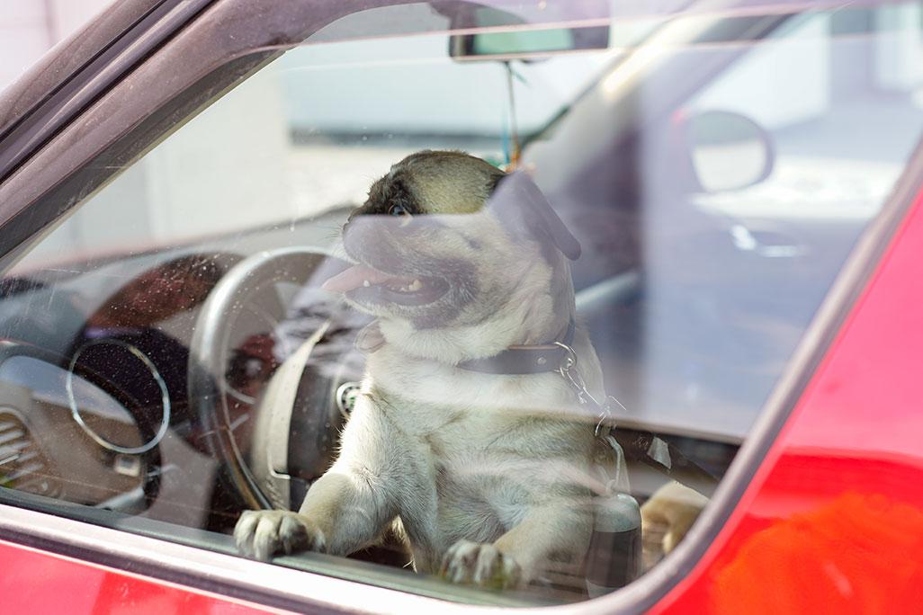 perro dentro de coche